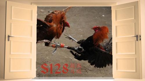 unblock sabung ayam