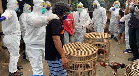arena sabung ayam di netralisir